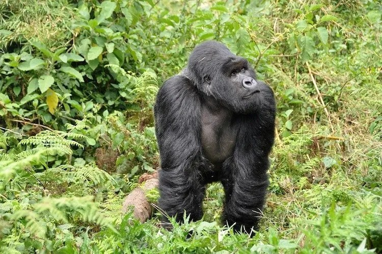 gorilla, rwanda