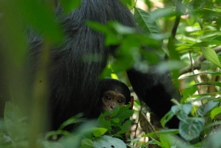 Baby Chimp, Kibale