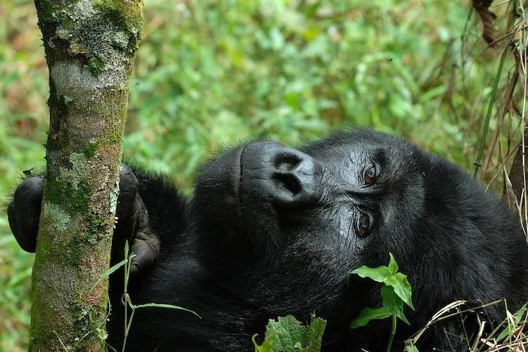 gorilla trekking uganda 2020
