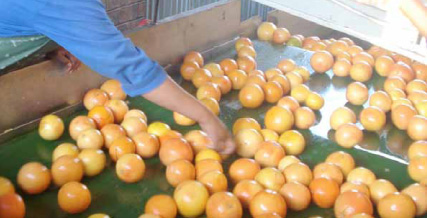 Fruit Sorting & Grading