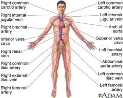 Circulatory System Lesson Plans, Worksheets, Printables
