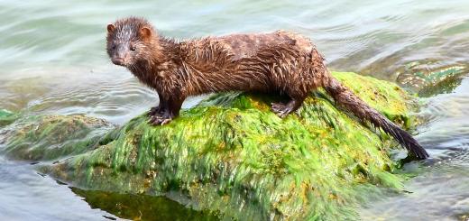 アメリカミンク 毛皮 生態系汚染