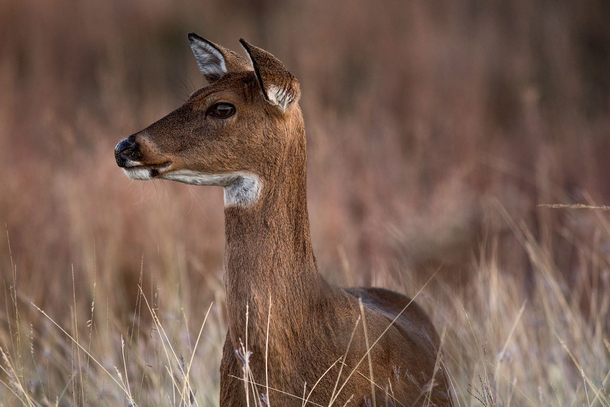 White Tailed Deer Facts Findings And Numbers