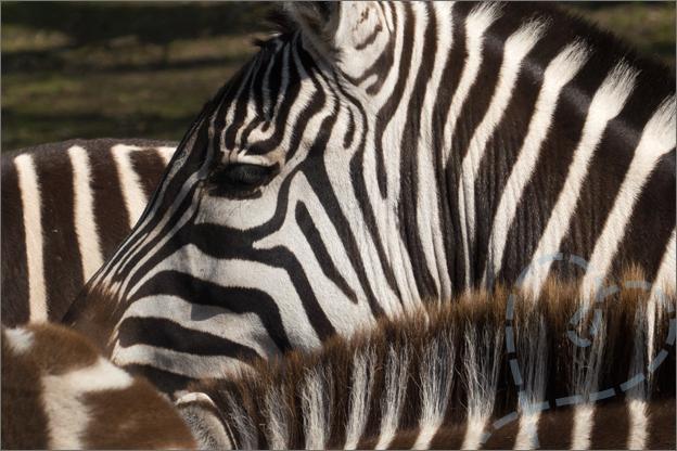 strepen van zebra