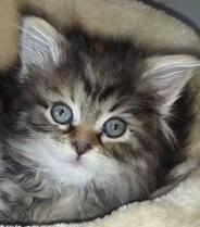 Hope as kitten - NoCo Siberian Kittens For Sale