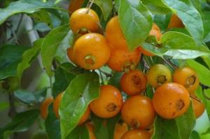 frutas mata atlântica