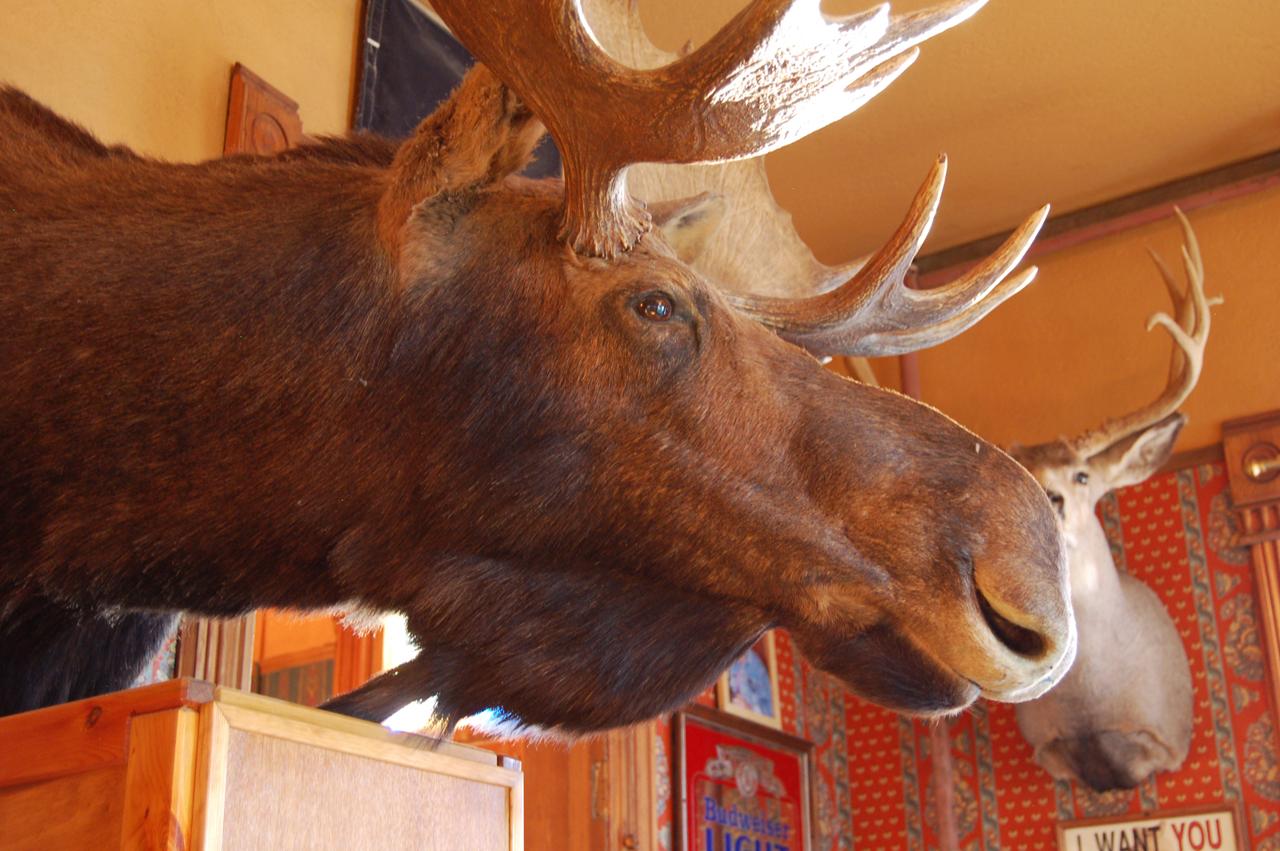 109_moose_3