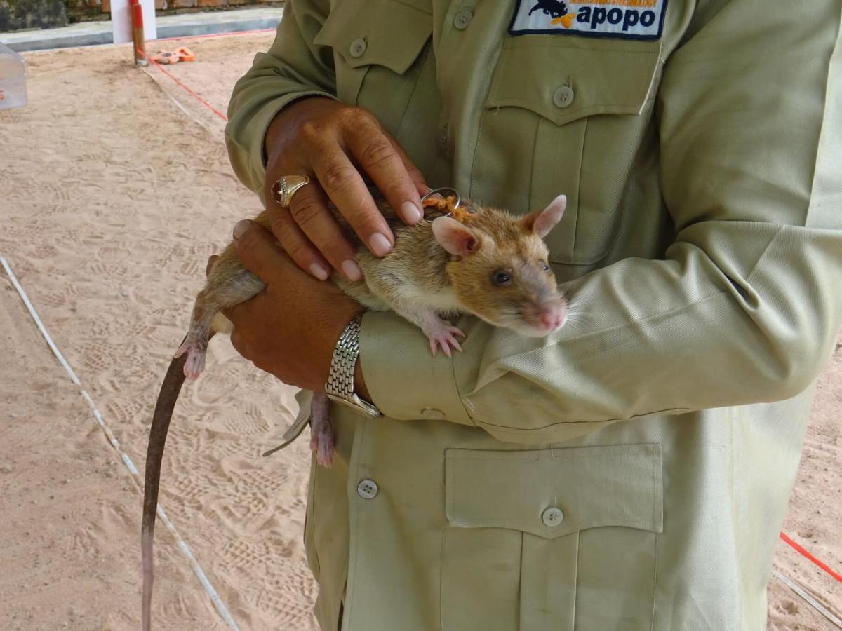 Meeting Cambodia's Hero Rats: A Visit to APOPO Landmine Detection