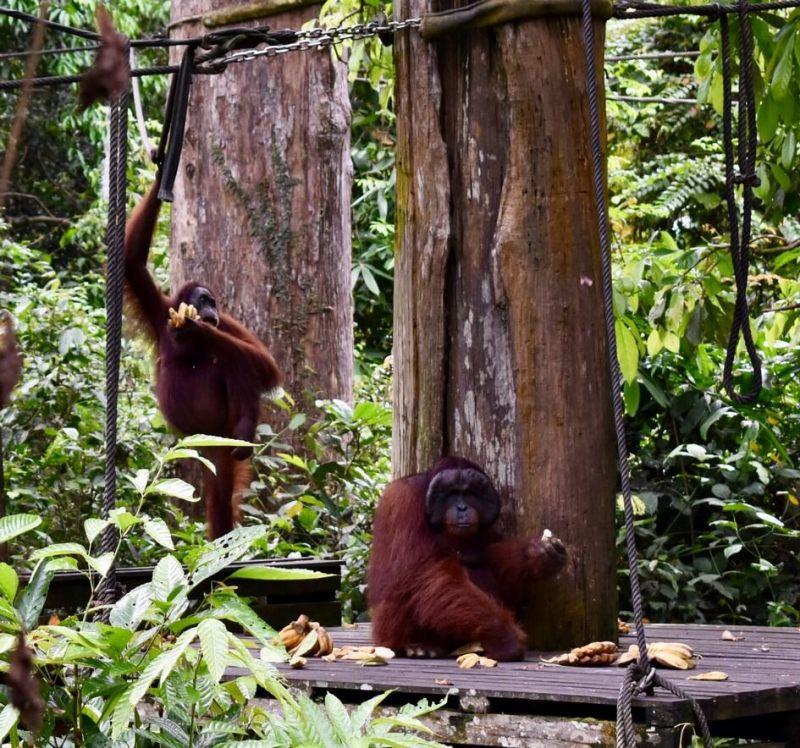 Visit Sepilok Orangutans