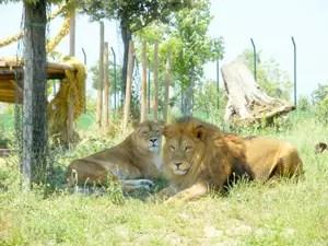 safari-ravenna-leoni