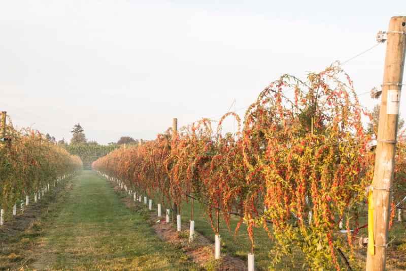 Colture redditizie le bacche di goji come coltivarle in for Coltivazione goji