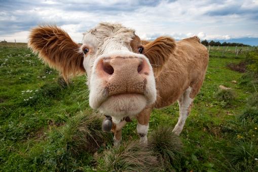 mucche in rivolta