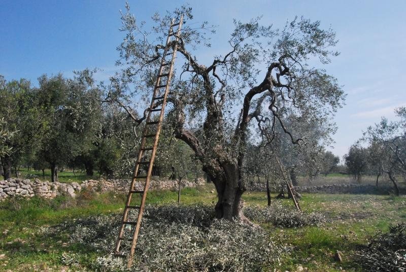 Potatura dell 39 olivo quando e come effettuarla noi for Potatura limoni in vaso