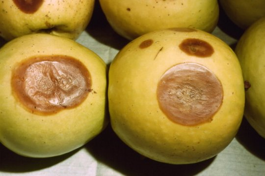 marciume lenticellare del melo