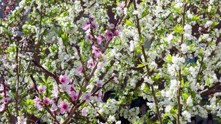 Albero dai 40 frutti Sam Van Aken fioritura