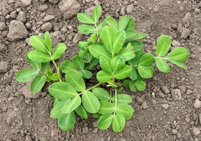 come coltivare la pianta di arachidi