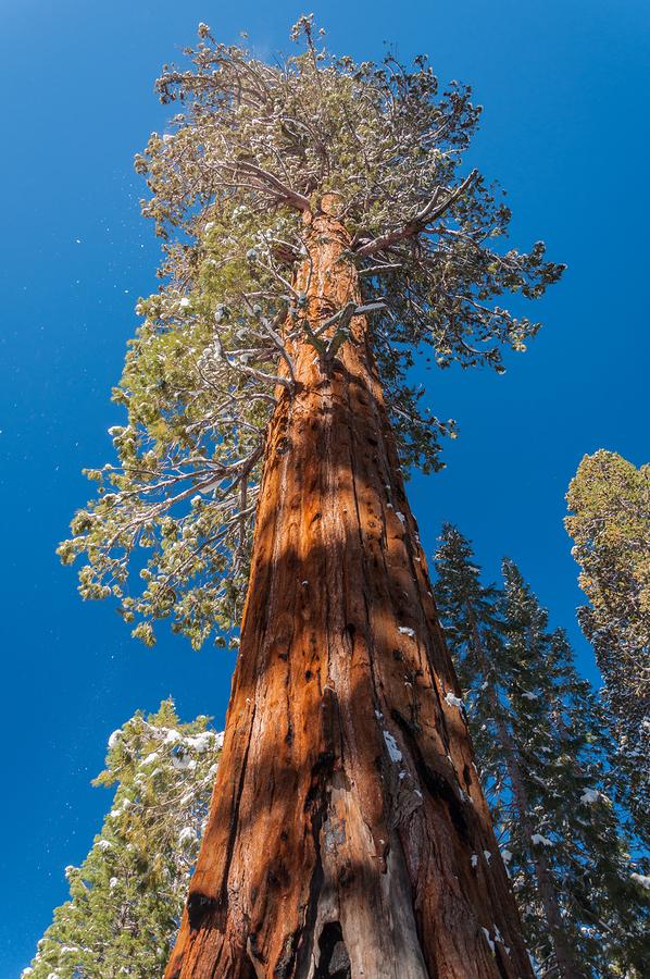 hyperion l'albero più alto del mondo