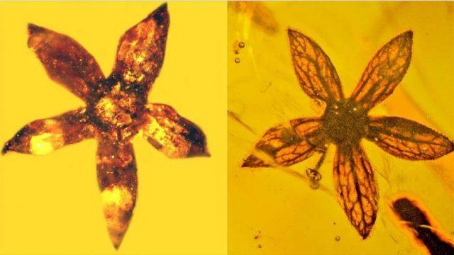 fiori preistorici dentro l'ambra della specie tropidogyne pentaptera