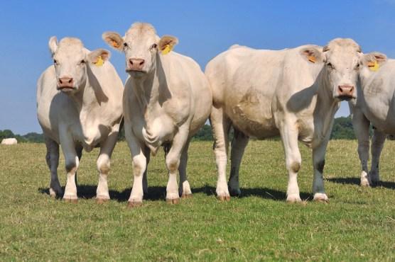 Allevamento vacche Charolaise