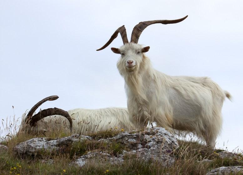 Allevare capre Cashmere