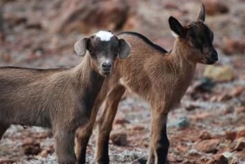 Allevare capre da carne