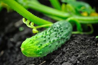 come coltivare cetrioli per il sottaceto