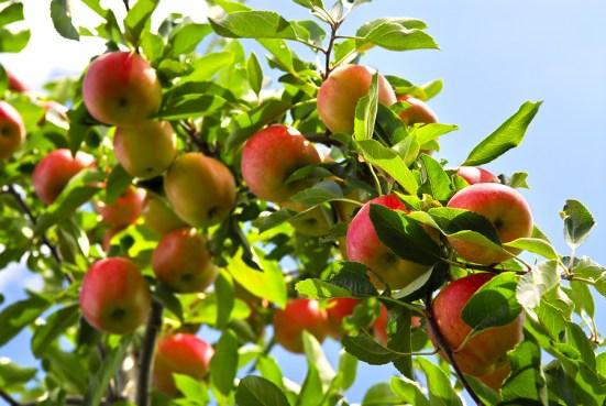 coltivazione e difesa del melo