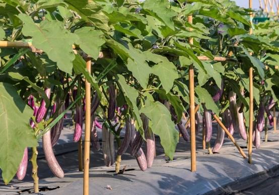 come coltivare le melanzane