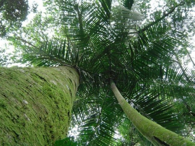 yacaratia albero dal legno commestibile