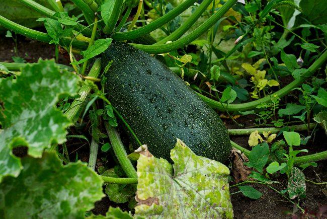 malattie delle zucchine