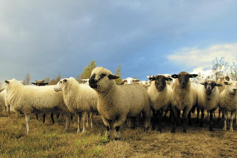 Allevamento di pecore da carne