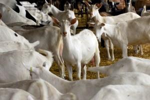 Capra Saanen quanto latte produce