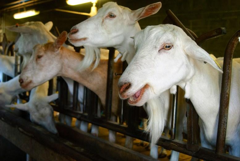 Allevare capre da latte