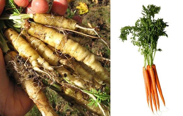 Frutta e verdura - carota selvatica e moderna a confronto