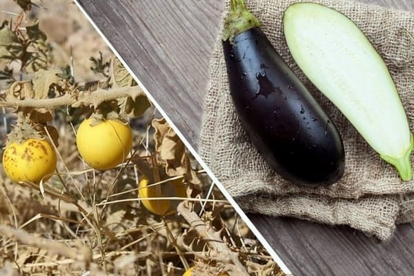 Frutta e verdura - melanzana selvatica e moderna a confronto
