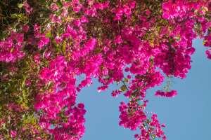pianta di bougainvillea