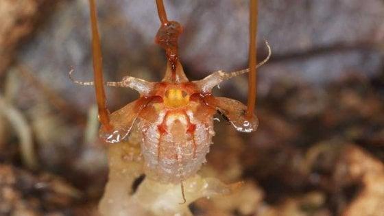 lanterna-delle-fate-thismia-neptunis-odoardo-beccari