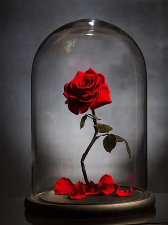 La rosa incantata del cartone u cla bella e la bestiau d esiste e vive