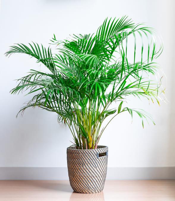 Piante d'appartamento Palma Areca (Chrysalidocarpus Lutescens)