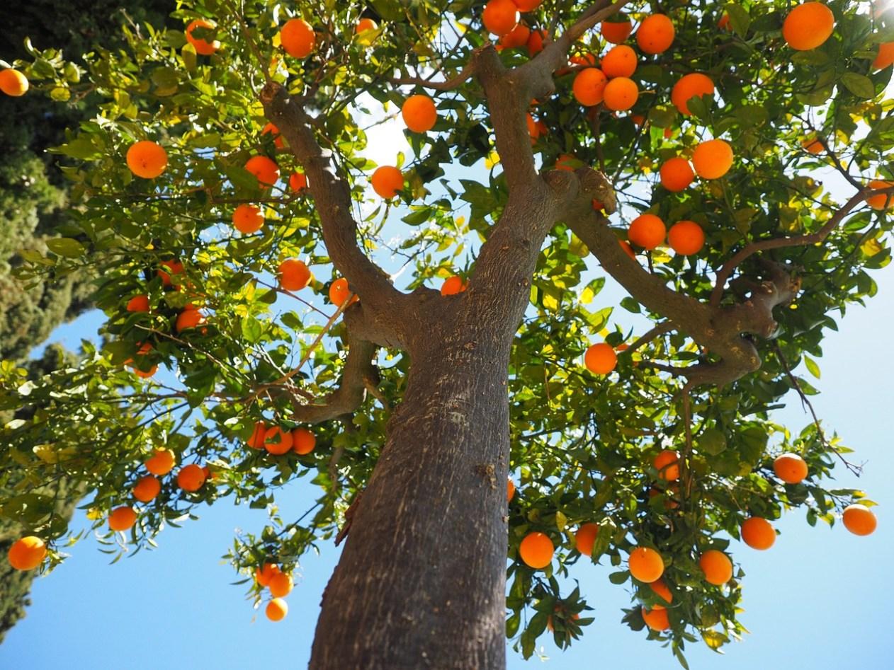 Potatura Arancio Come Potare L Albero Di Arancio