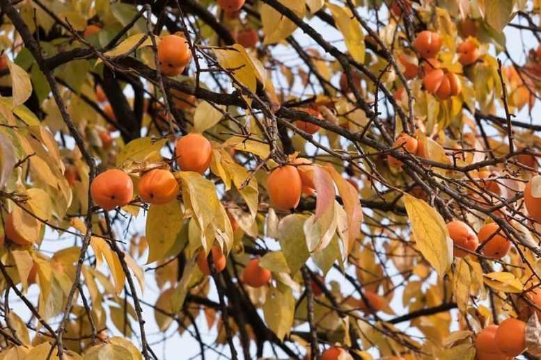 albero di caco