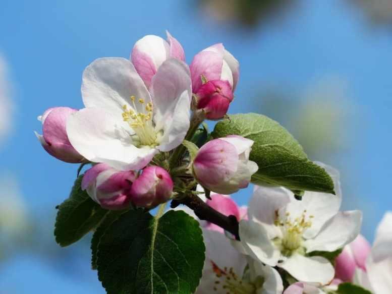fiori del melo