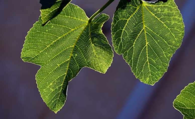 foglie di fico