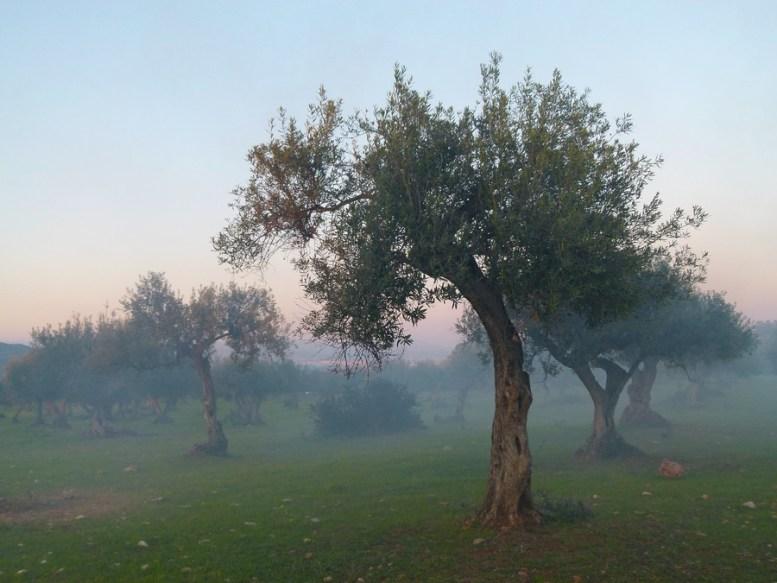 umidità olivo