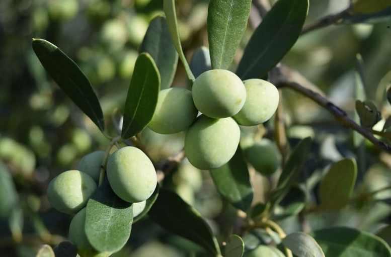concime foglie olivo