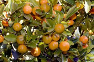 Potatura del mandarino