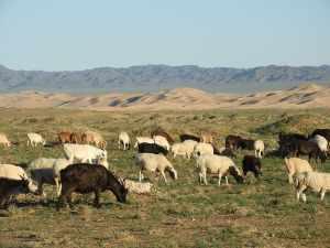 allevamento di capre