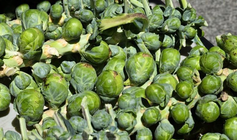 coltivazione cavoletti di Bruxelles