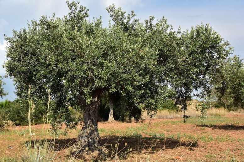 come concimare olivo