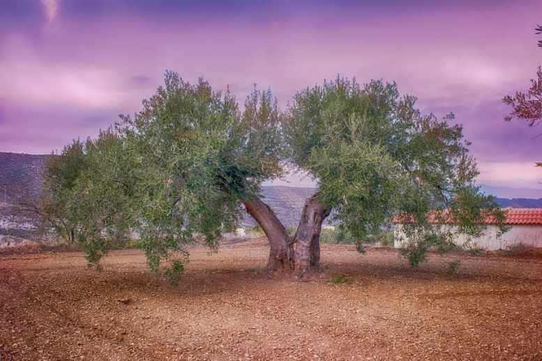 concime per olivo